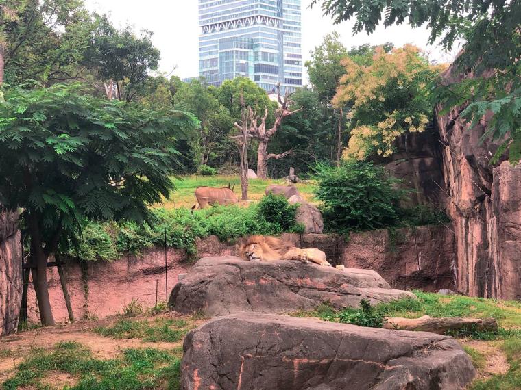 天王寺動物園 ライオン