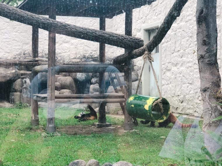 天王寺動物園 レッサーパンダ2