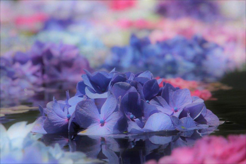 池に漂う色とりどりのアジサイ