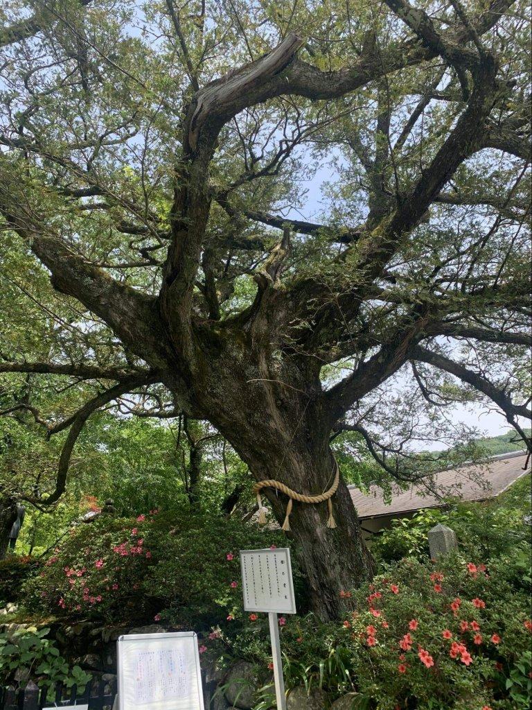 かやの老木